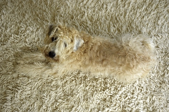 10 Adorable Dogs Who Share The Love For Contemporary Rugs Modern Rugs 10 Adorable Dogs Who Share The Love For Modern Rugs 10 Pictures Of Dogs Who Love Modern Rugs 2